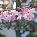 Photos: 寒桜~高輪神社