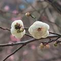 Photos: 梅~芝公園
