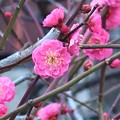 Photos: 紅梅~長勝寺