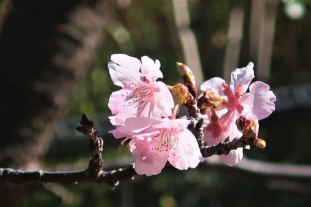 河津桜の季節