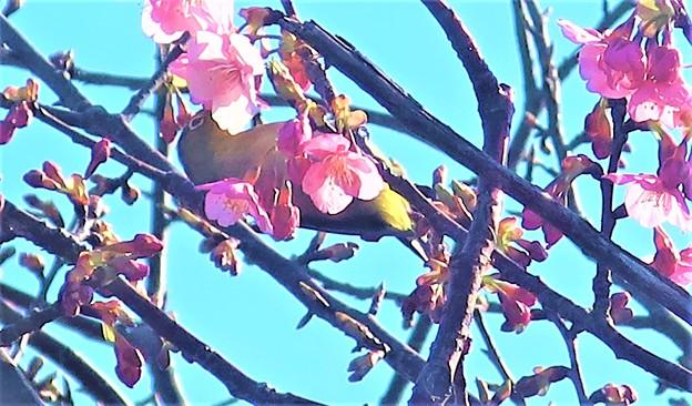 桜ジロ~披露山