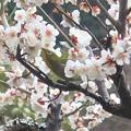 Photos: メジロ~岩殿寺