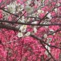 Photos: 紅白梅