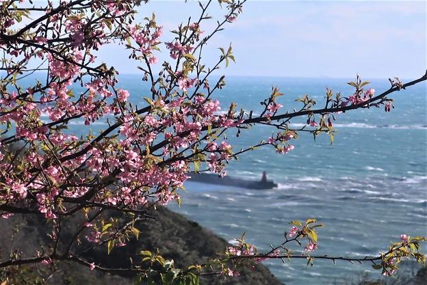 披露山の河津桜