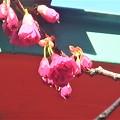 寒緋桜~早稲田