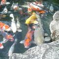 Photos: 鯉 2