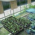 Photos: 野菜苗販売