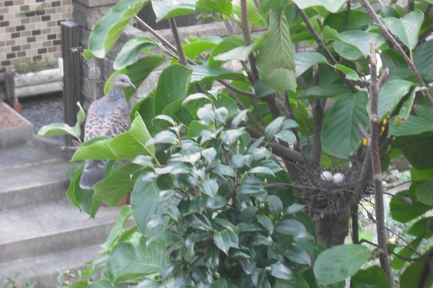 Photos: 山鳩の卵
