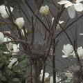 ハクモクレンと鳥の巣残骸