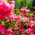写真: 咲き誇っていますね~