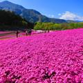 写真: 咲き誇る芝桜