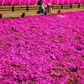 写真: 芝桜に見とれてる~?