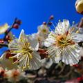 写真: 青空に咲き誇る白梅