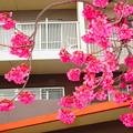 団地の桜・・