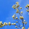 写真: 青空にモクレン