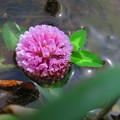 写真: 水辺に咲く・・