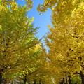 青空に萌える銀杏並木