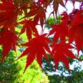 燃える赤紅葉