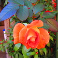 かわいい花弁たち