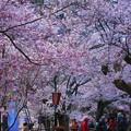 満開の高遠桜