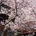 咲き乱れ高遠桜