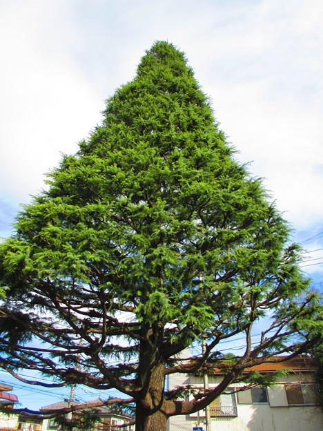 クリスマスツリーにいかが・・・