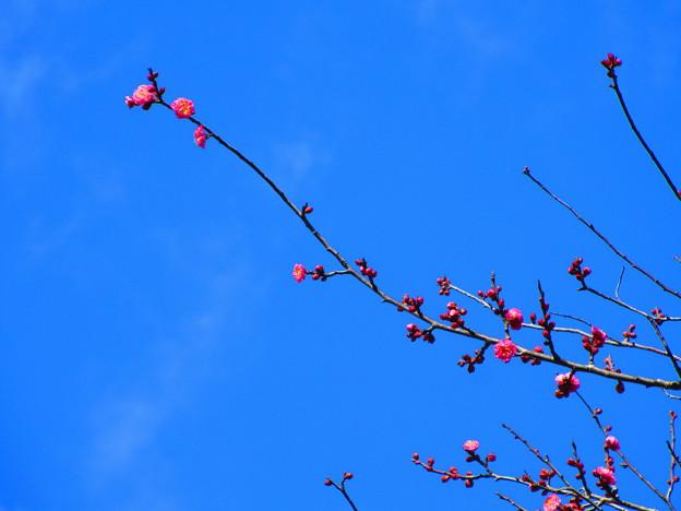 紅梅が・・・咲き出しましたね。