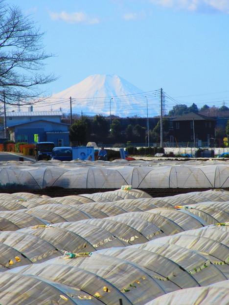 ビニールハウスと富士