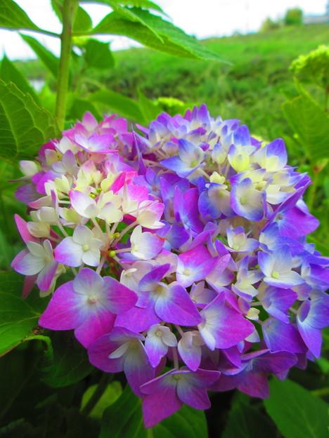 川辺の紫陽花