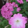 Photos: かわいいピンク