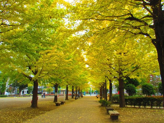 美しい銀杏並木
