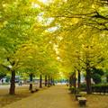 Photos: 美しい銀杏並木