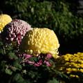 Photos: 美しき菊たち・・