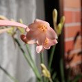 Photos: 咲き出したキリタンサス
