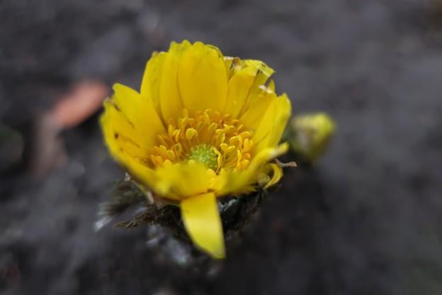 春を呼ぶ福寿草