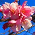 Photos: 青空に河津桜