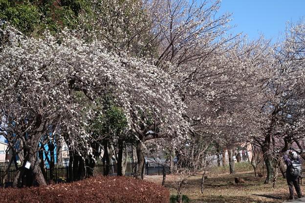 見事な枝垂れ白梅