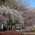 Photos: 見事な枝垂れ白梅