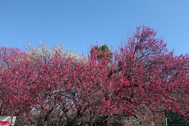咲き誇る紅梅