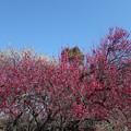 Photos: 咲き誇る紅梅
