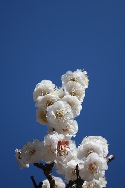 密に咲き誇る白梅