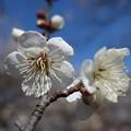 梅林の中の白梅