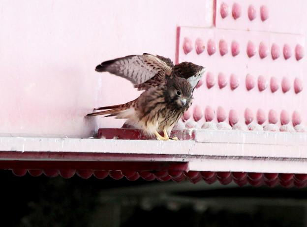 チョウゲンボウ幼鳥-2