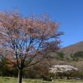 写真: 桜残る高原