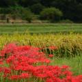彼岸花の咲く畦道