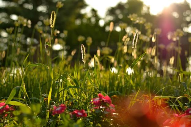 バックライト草