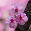 Photos: ピンクの桜