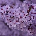 Photos: 夕方の桜