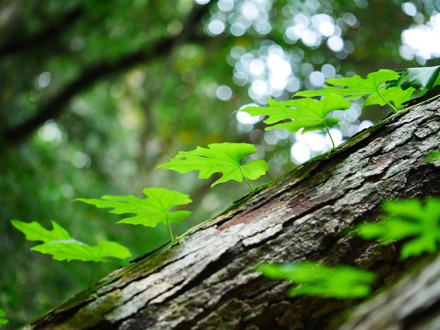 葉っぱの木登り