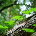 Photos: 葉っぱの木登り